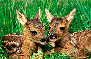 Mladičev se ne dotikajte, saj njihova mama ni daleč!